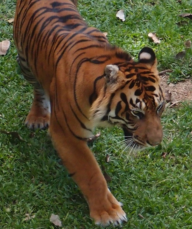 Sumatran Tiger, West Sumatra