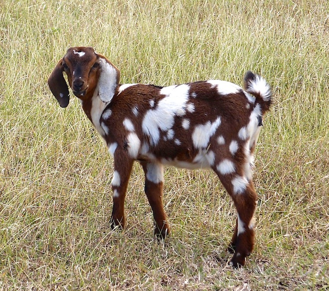 Spotted goat