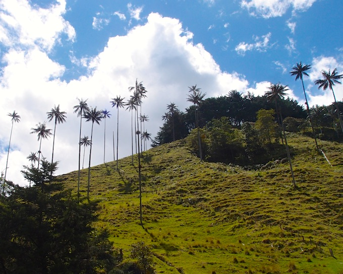 Wax palm trees, Cocora Valley, Colombia